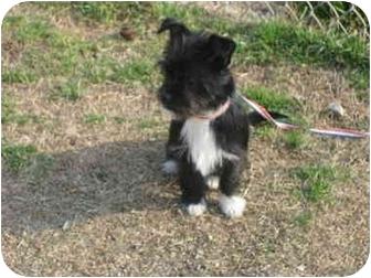 Affenpinscher/Yorkie, Yorkshire Terrier Mix Puppy for adoption in McDonough, Georgia - Maya Baby