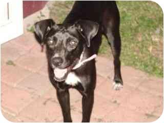 Labrador Retriever Mix Dog for adoption in Brownsville, Texas - Cookie