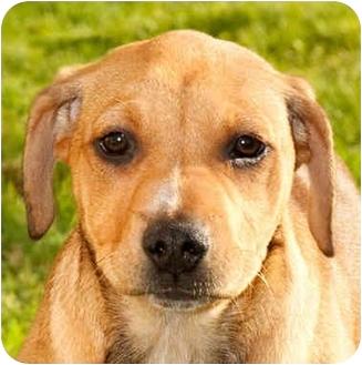 Labrador Retriever/Beagle Mix Puppy for adoption in Marina del Rey, California - Luka