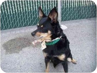 Miniature Pinscher Mix Dog for adoption in Spokane, Washington - Cleo