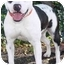 Photo 3 - American Pit Bull Terrier Mix Dog for adoption in Berkeley, California - Angel