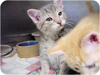 Domestic Shorthair Kitten for adoption in Marshalltown, Iowa - Maxwell