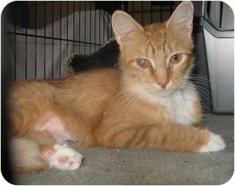 Domestic Mediumhair Cat for adoption in Acme, Pennsylvania - Lolla