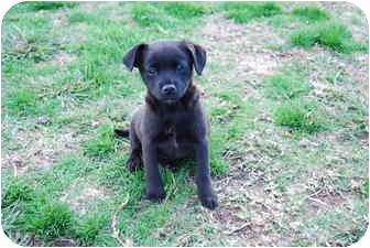 Terrier (Unknown Type, Small)/Border Collie Mix Puppy for adoption in Bunkie, Louisiana - Ellie