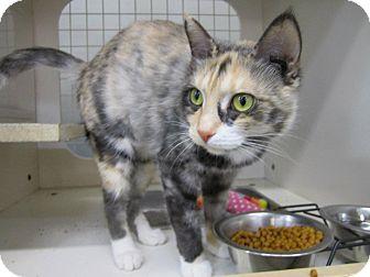 Domestic Shorthair Cat for adoption in Chesapeake, Virginia - Sweet Pea