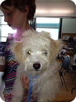 Maltese/Havanese Mix Puppy for adoption in North Hollywood, California - Tony