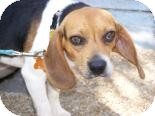 Beagle Mix Dog for adoption in Franklin, Tennessee - Rastis