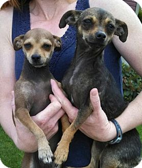 Chihuahua Mix Puppy for adoption in Seattle, Washington - Cuddles and Zippy