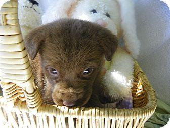 Labrador Retriever Puppy for adoption in Waldorf, Maryland - Honey