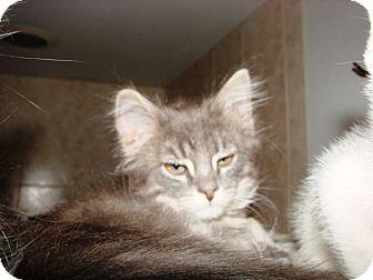 Domestic Mediumhair Kitten for adoption in Grand Junction, Colorado - Grey baby