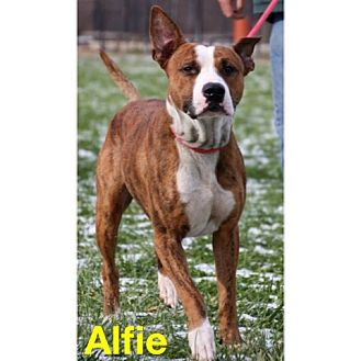 Boxer/Bull Terrier Mix Dog for adoption in Cleveland, Ohio - Aflie