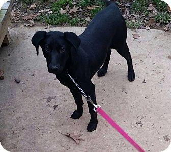 Labrador Retriever Mix Puppy for adoption in South Park, Pennsylvania - Storm