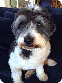 Poodle (Miniature) Mix Dog for adoption in Walnut Creek, California - Baxter