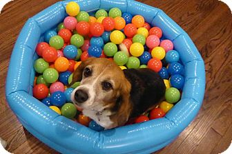 Beagle Dog for adoption in Yardley, Pennsylvania - Timmone