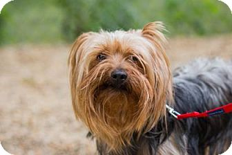 Yorkie, Yorkshire Terrier Mix Dog for adoption in Lowell, Massachusetts - Henry