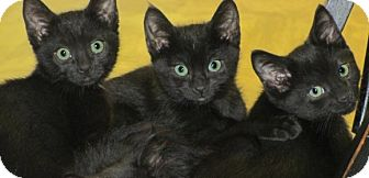 American Shorthair Kitten for adoption in San Andreas, California - Thomas,