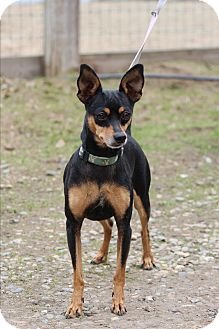 Miniature Pinscher Mix Dog for adoption in Lodi, California - Tina