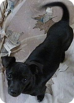Chihuahua Mix Puppy for adoption in Okeechobee, Florida - Chipper