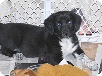 German Shepherd Dog/Pointer Mix Puppy for adoption in Conesus, New York - Taylor