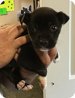 Husky/Pit Bull Terrier Mix Puppy for adoption in Loogootee, Indiana - Brook