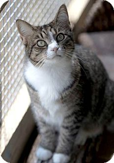 Domestic Shorthair Cat for adoption in Transfer, Pennsylvania - Josie