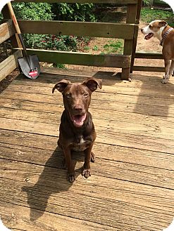 Pit Bull Terrier/Labrador Retriever Mix Puppy for adoption in Durham, North Carolina - Blaze