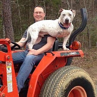 American Staffordshire Terrier/Vizsla Mix Dog for adoption in Fredericksburg, Virginia - iHop (deaf)