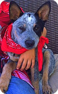 Australian Cattle Dog Dog for adoption in Woodland Hills, California - Adorable Ranger