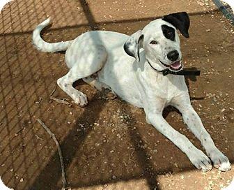 Labrador Retriever/Dalmatian Mix Dog for adoption in Plano, Texas - Gabby