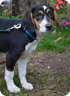 Beagle/Hound (Unknown Type) Mix Puppy for adoption in Danbury, Connecticut - Chips