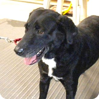 Labrador Retriever Mix Dog for adoption in Irwin, Pennsylvania - Oreo