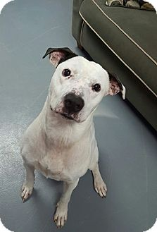 Pit Bull Terrier Mix Dog for adoption in Hawk Point, Missouri - Snoopy