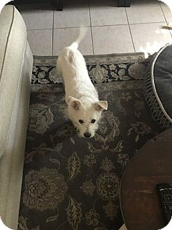 Cairn Terrier/Wirehaired Fox Terrier Mix Dog for adoption in Fair Oaks Ranch, Texas - Einstein