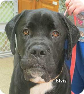 Mastiff Mix Puppy for adoption in Warren, Pennsylvania - Elvis