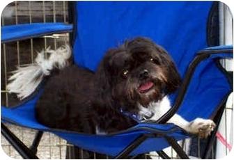 Lhasa Apso/Shih Tzu Mix Dog for adoption in Los Angeles, California - BRIGGS