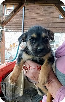 Labrador Retriever/Shepherd (Unknown Type) Mix Puppy for adoption in Media, Pennsylvania - Ash
