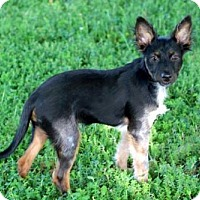 Adopt A Pet :: PUPPY GROOT - Spring Valley, NY
