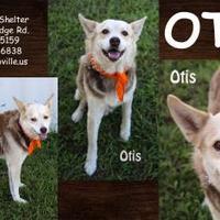 Adopt A Pet :: Otis - SEAGOVILLE, TX