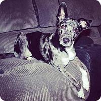 Adopt A Pet :: Bella the Catahoulah - Midlothian, VA