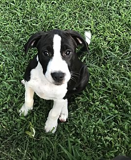 Border Collie/Hound (Unknown Type) Mix Puppy for adoption in Southbury, Connecticut - Ginger~adopted!