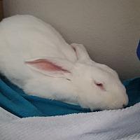 Adopt A Pet :: Fluff - Alexandria, VA