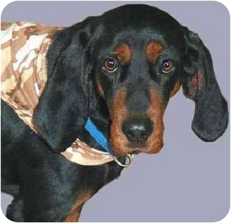 Coonhound Dog for adoption in Grass Valley, California - Boozer*URGENT*
