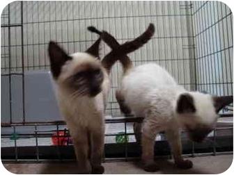 Siamese Kitten for adoption in Arkadelphia, Arkansas - Raven