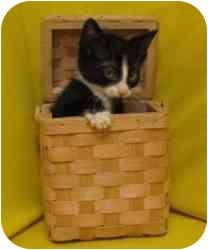 Domestic Shorthair Kitten for adoption in Milwaukee, Wisconsin - Ignecio
