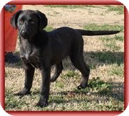 Labrador Retriever/Border Collie Mix Puppy for adoption in Hagerstown, Maryland - Spice Girl