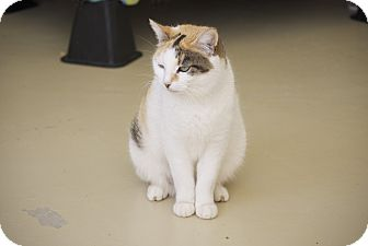 Calico Cat for adoption in Trevose, Pennsylvania - Soni