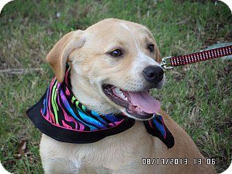 Labrador Retriever Mix Puppy for adoption in Hartford, Connecticut - Rose
