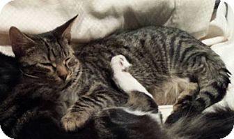 Domestic Shorthair Kitten for adoption in Mobile, Alabama - Carter