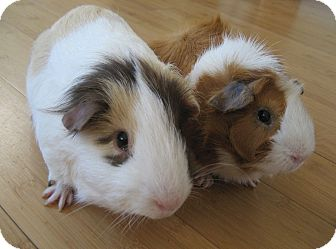 Guinea Pig for adoption in Fullerton, California - Sammy and Dean