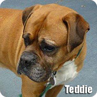 Boxer Dog for adoption in Encino, California - Teddie